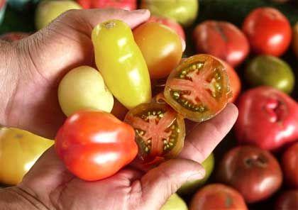 Tomaten: Lebendige Substanz strahlt mit Wellenlängen von 200 bis 800 Nanometern