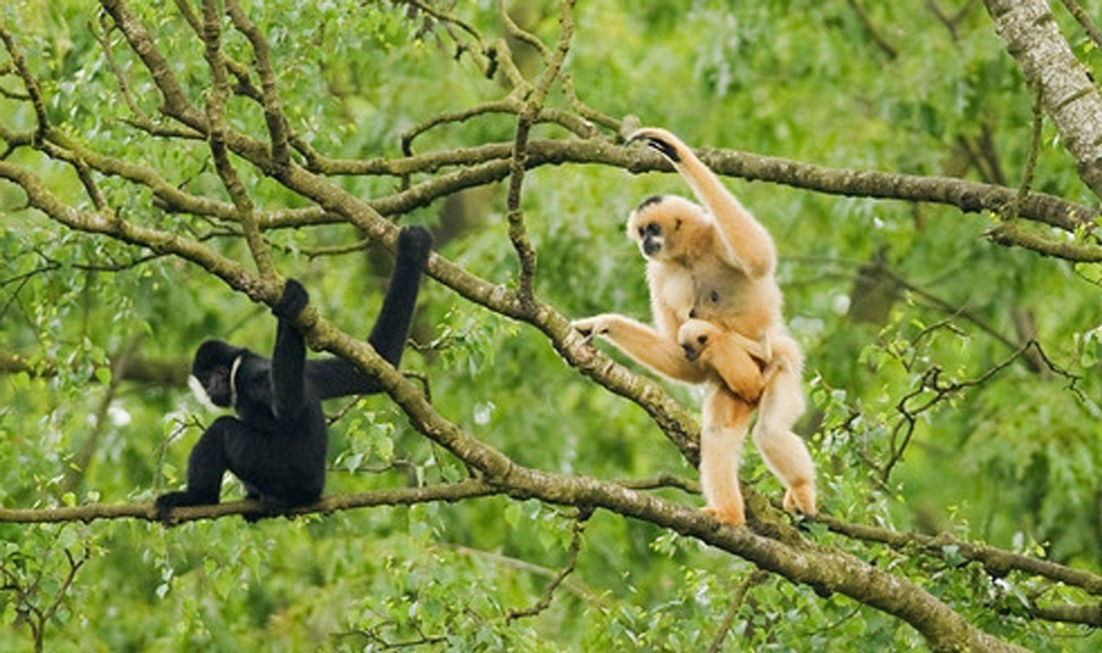 EINMALIGE VERWENDUNG Gibbon / Vietnam