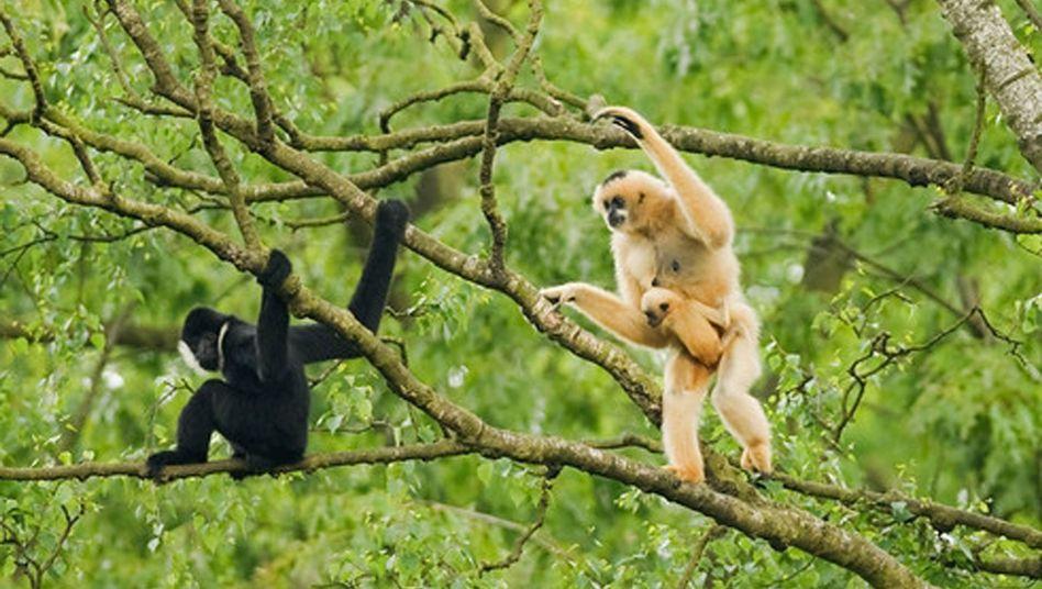 Gibbons in Vietnam: Bereits ihre Urzeit-Vorfahren fanden sich in Paaren zusammen.
