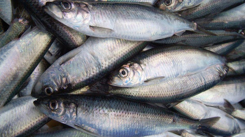 Heringe: Meerestiere können mit giftigem Quecksilber belastet sein.