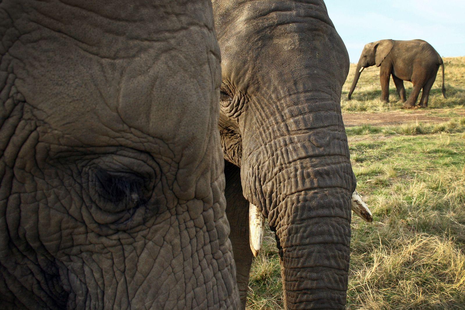 Elefanten-Jagd/ Elefanten/ Afrika