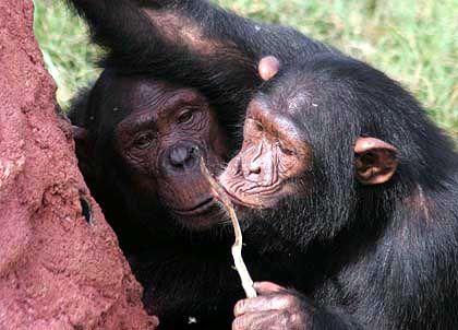 Schimpansen mit Werkzeug: Diese Stäbe nutzen die Menschenaffen, um Termiten aus ihre Nestern zu angeln