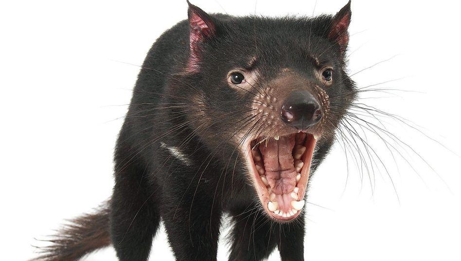 Tasmanischer Teufel: Bissiger Wüterich