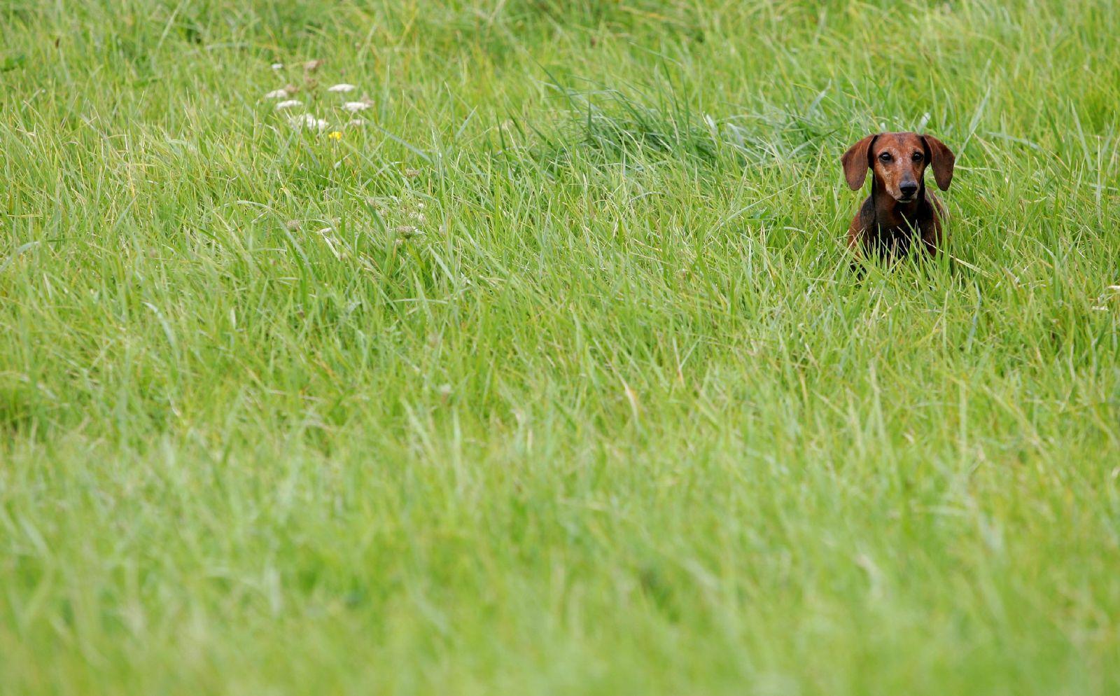 Dackel im Gras