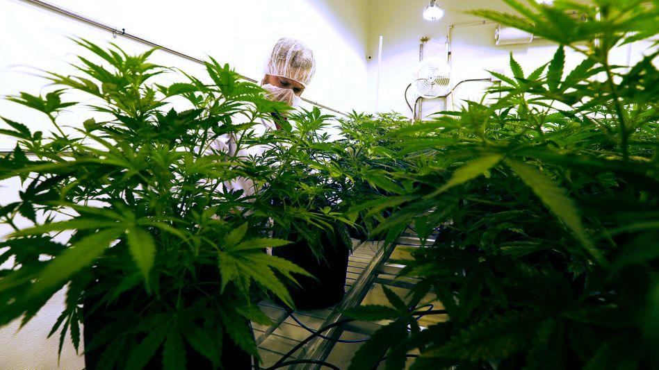 Marihuana-Zucht