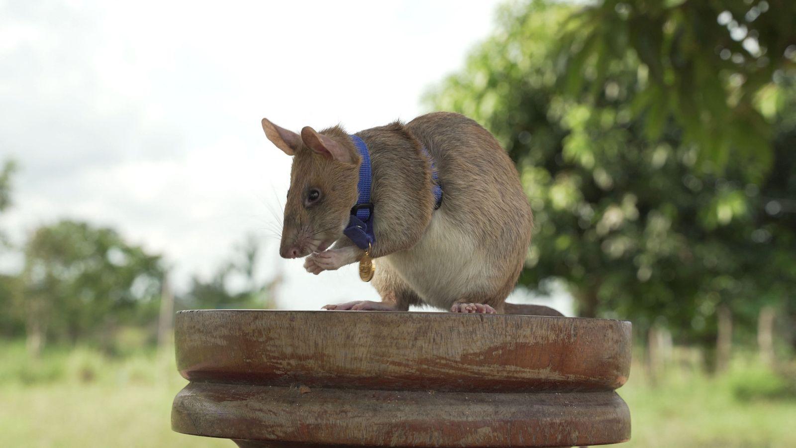 FILES-CAMBODIA-LANDMINES-ANIMAL-RAT-OFFBEAT