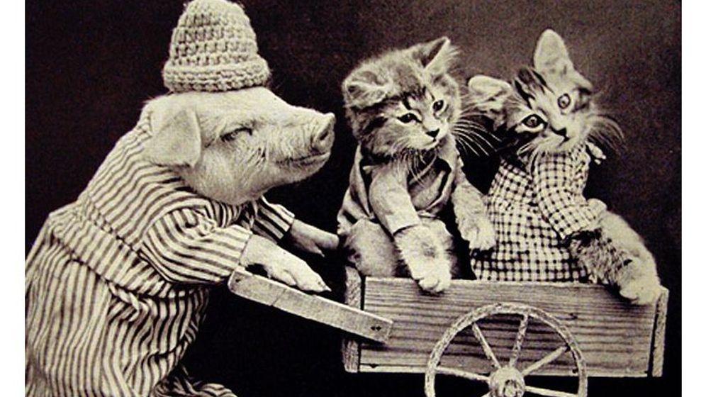 Historische Tierfotos: Ich glaub, mein Schwein modelt
