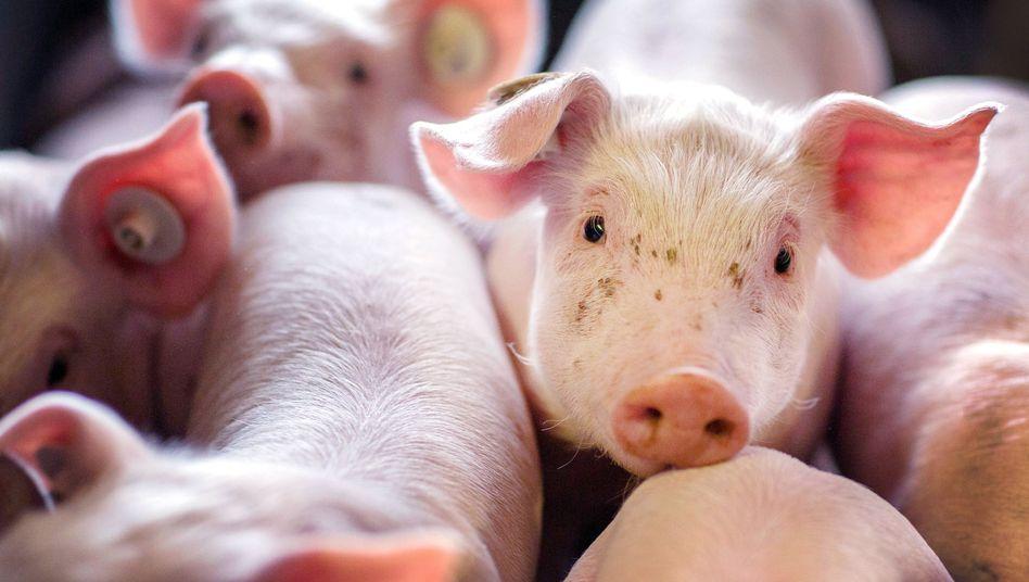 Nottötungen in der Mast: Warum 13 Millionen Schweine im Müll landen