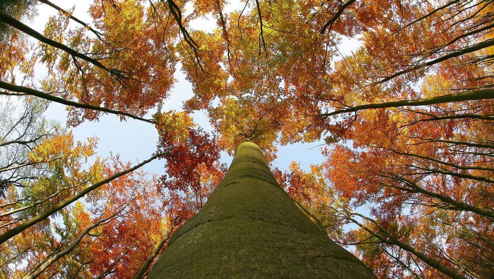 Grumsiner Forst: Waldbaden unter Buchen
