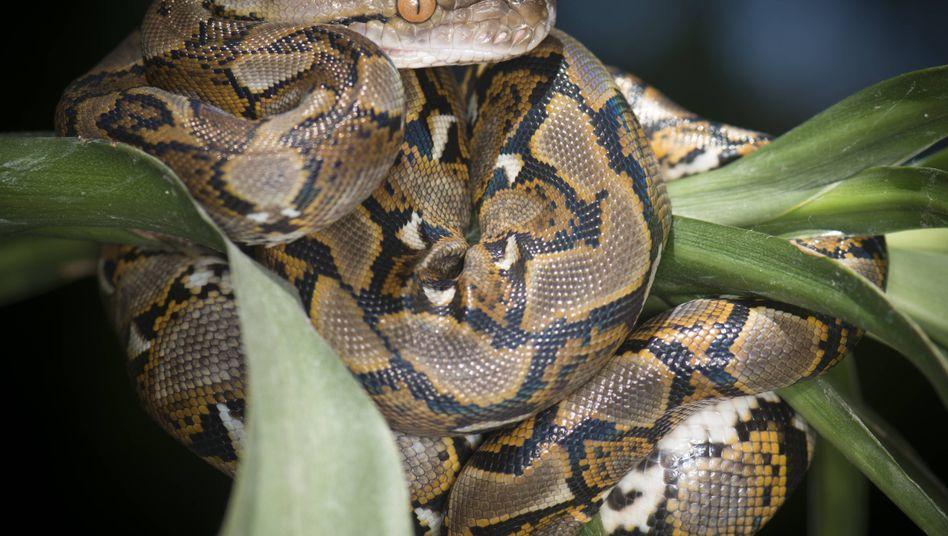 Python in Lauerstellung