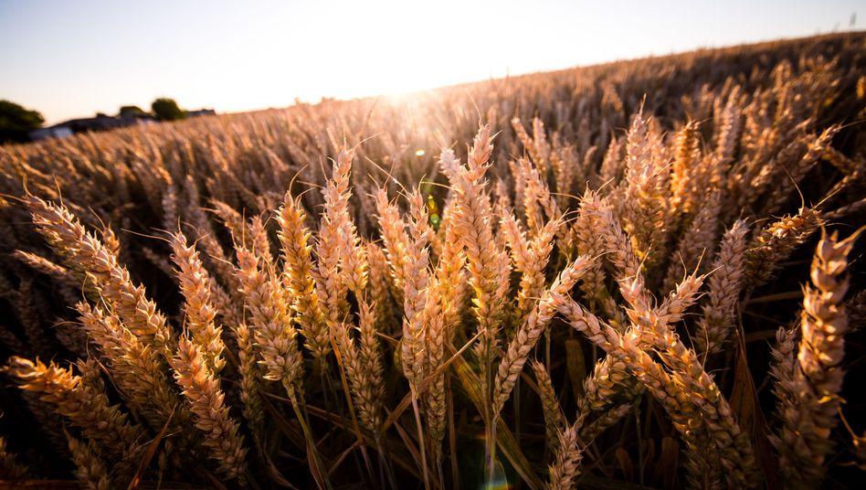 Getreide wie Weizen oder Reis enthält durch den Klimawandel weniger Nährstoffe.