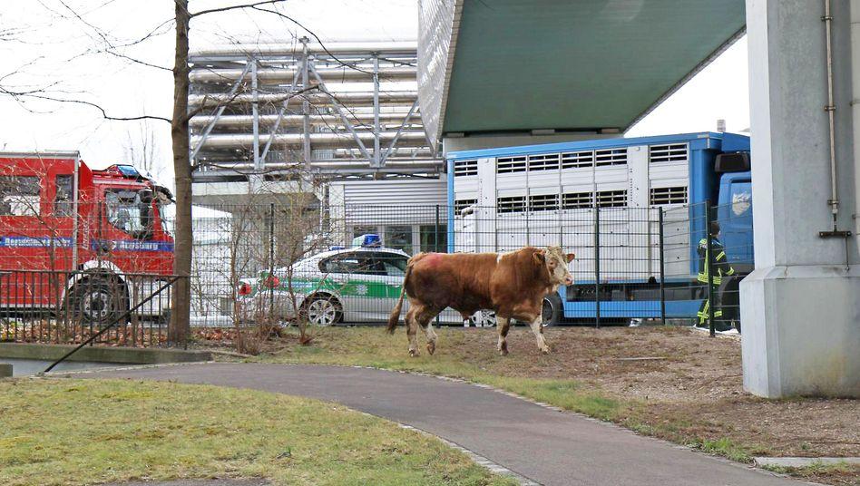Entlaufener Stier in Augsburg: Spaziergang über den Lech