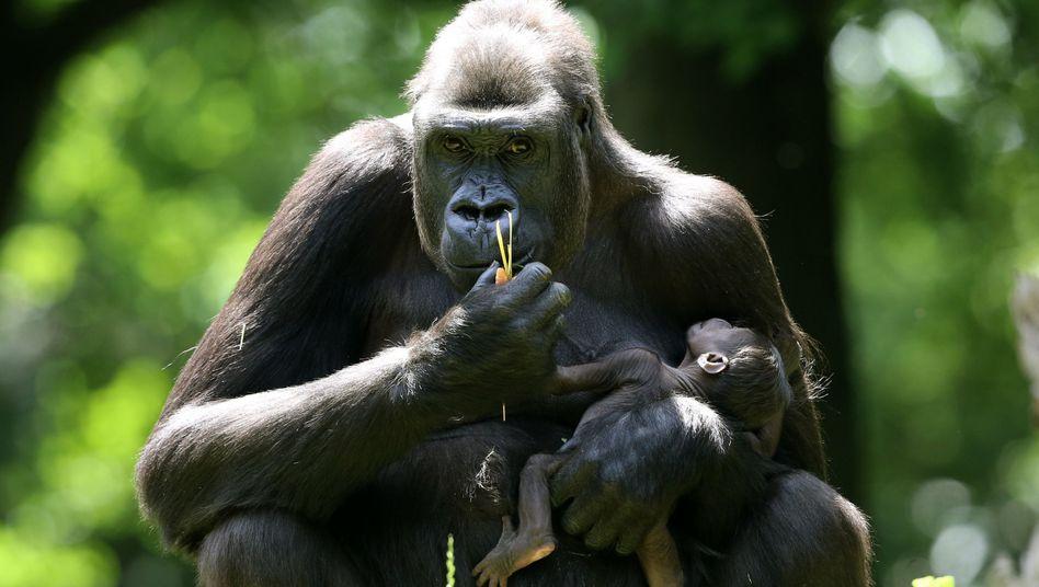 Gorillamutter mit Nachwuchs