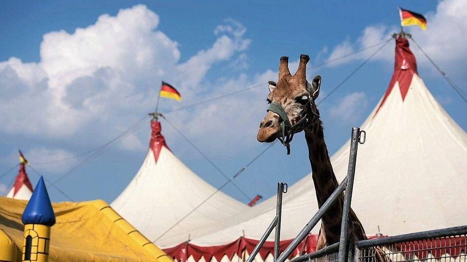 Giraffe in einem Zirkus in München: Wildtiere einfach nur zu zeigen, könnte bald verboten werden