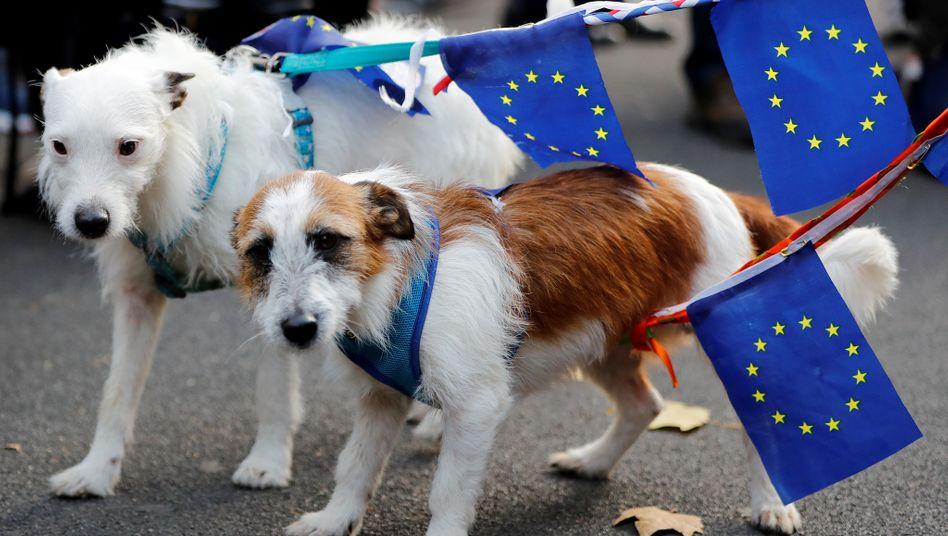 Pass weg, Mikrochip her: Diese britischen Hunde müssen bei einer Einreise in die EU und nach Nordirland womöglich zum Tierarzt (Archivfoto)