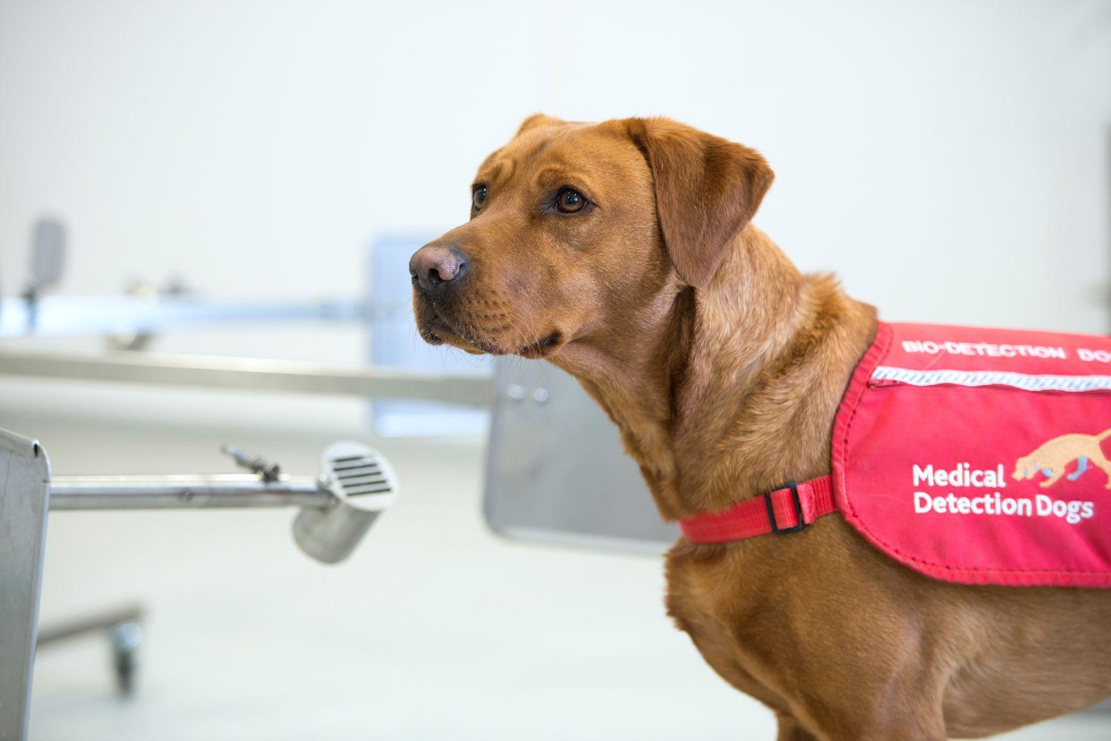 Medical Detection Dogs/ Corona-Hunde