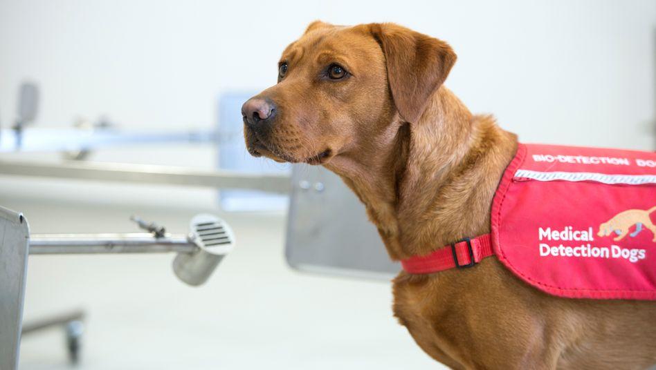 Werktags von 9 bis 16 Uhr erschnuppern die Hunde tödliche Krankheiten - anschließend dürfen sie spielen