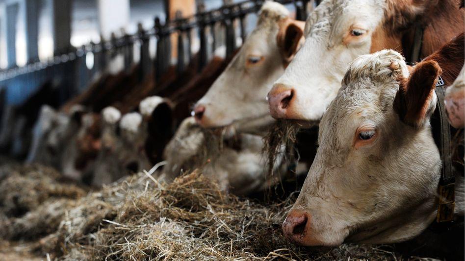 Kühe an der Futterstelle: Positiver Befund in der Milch
