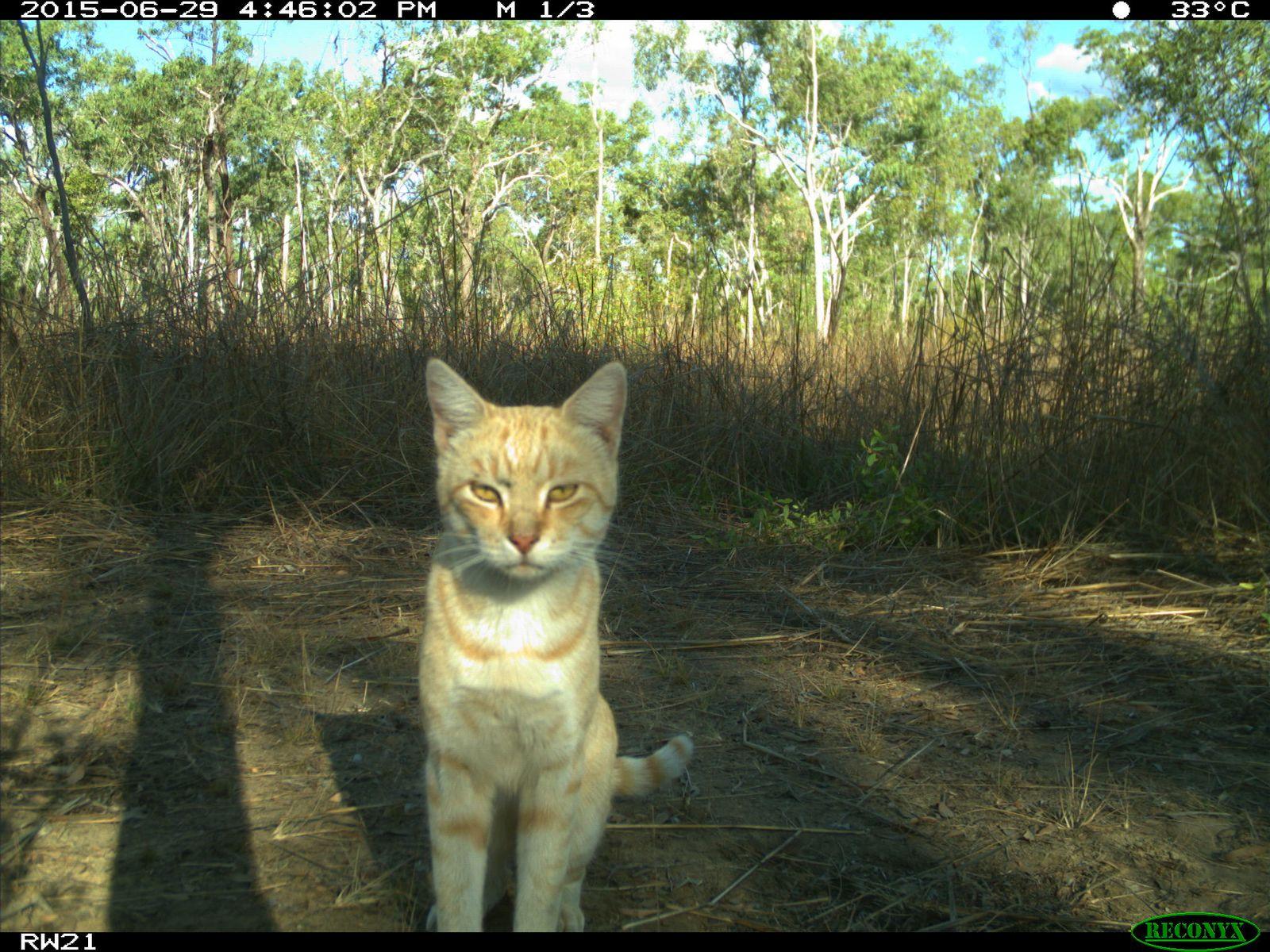 EINMALIGE VERWENDUNG Verwilderte Hauskatzen in Australien