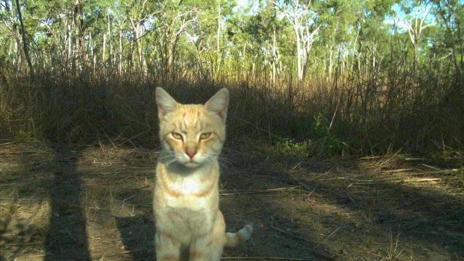 Katze in einer Fotofalle im Northern Territory