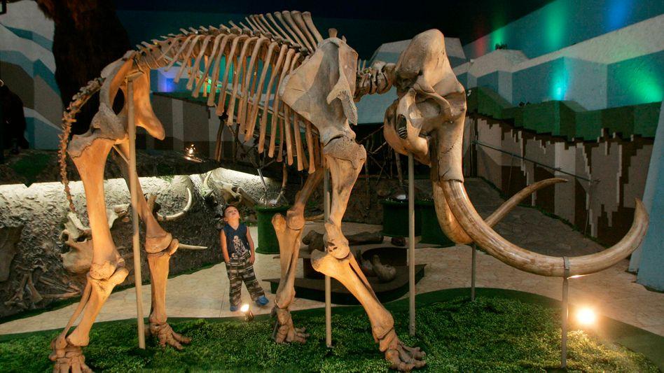 Mammut-Skelett (im Moskauer Eiszeit-Museum): Wir warm waren die Riesen?