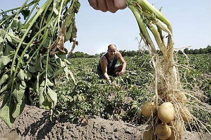 Kartoffelernte: Dicke Knollen sind diesen Sommer knapp