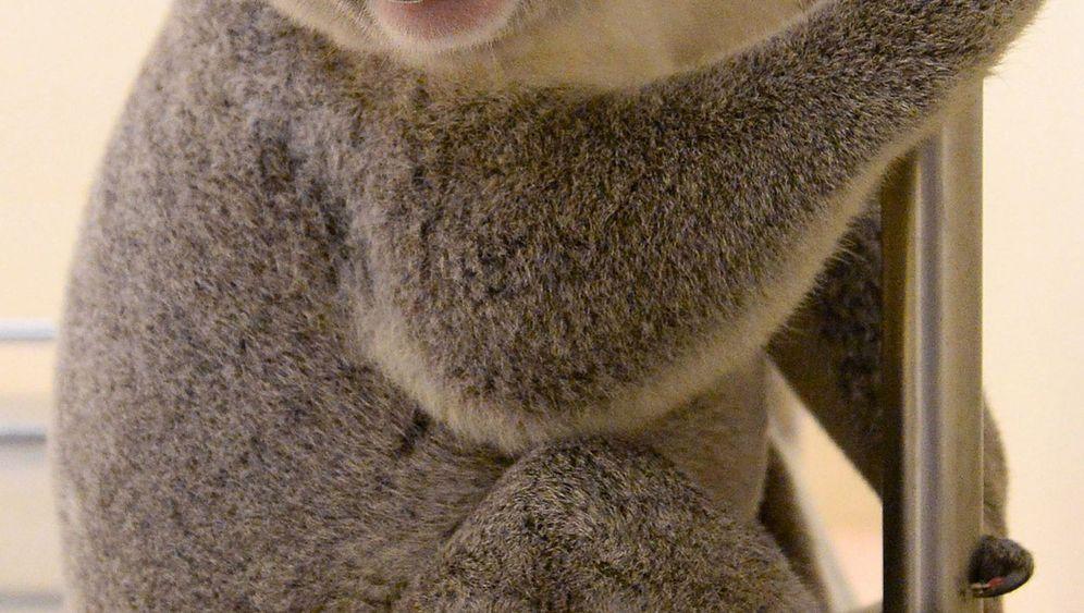 Koala auf Reisen: 90 Kilometer lange Höllentour