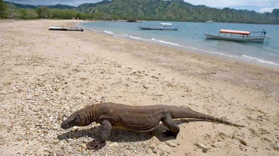Komodo-Waran am Strand