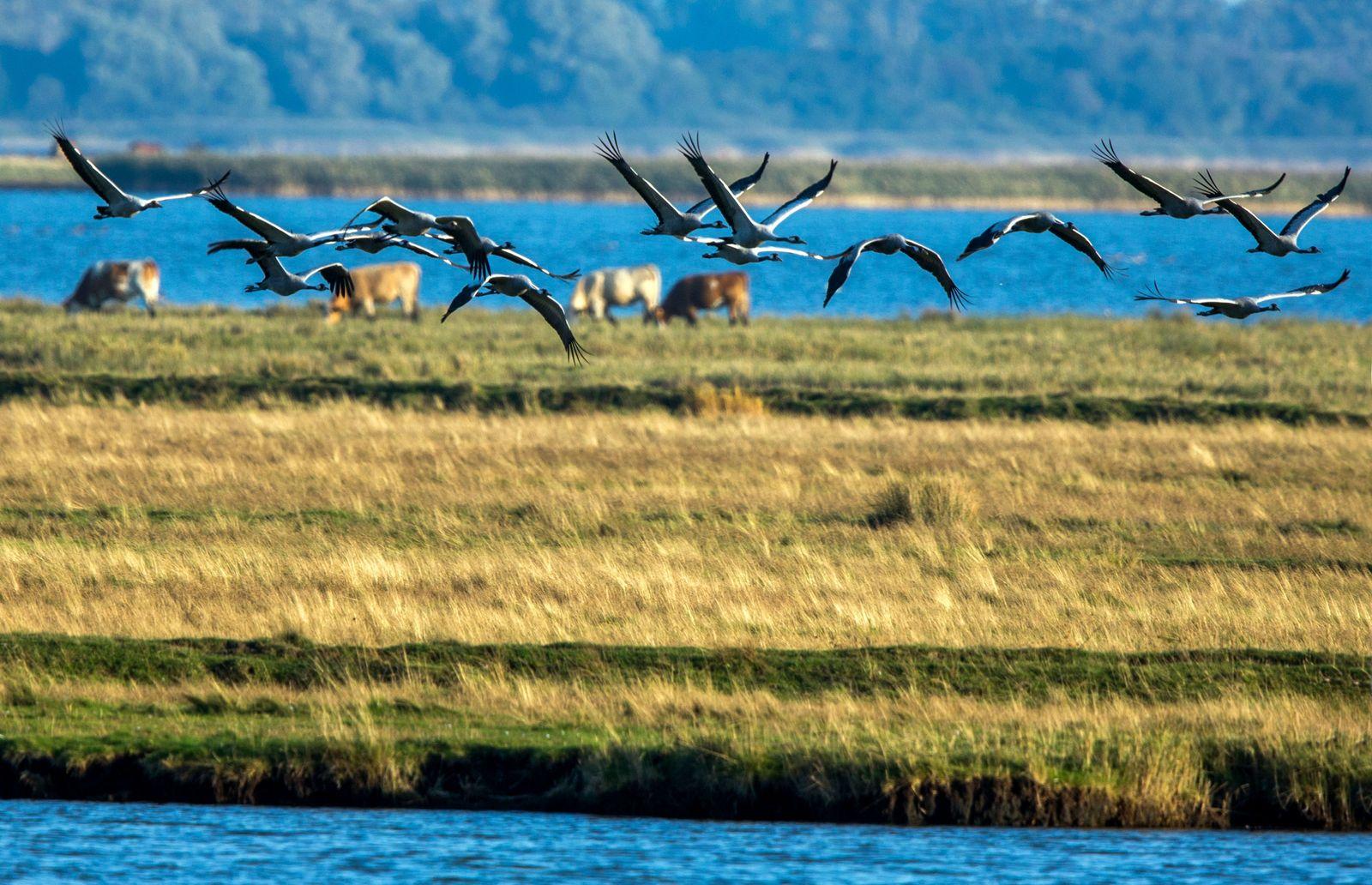 Kraniche auf Fischland-Darß