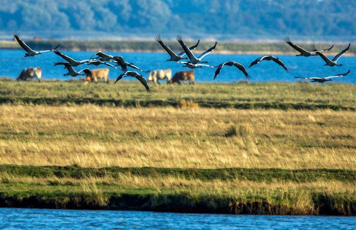 Kraniche auf der Halbinsel Fischland-Darß
