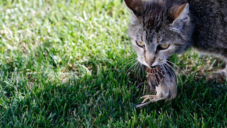 Katze mit Vogel: Wie groß ist der Appetit der Stubentiger?