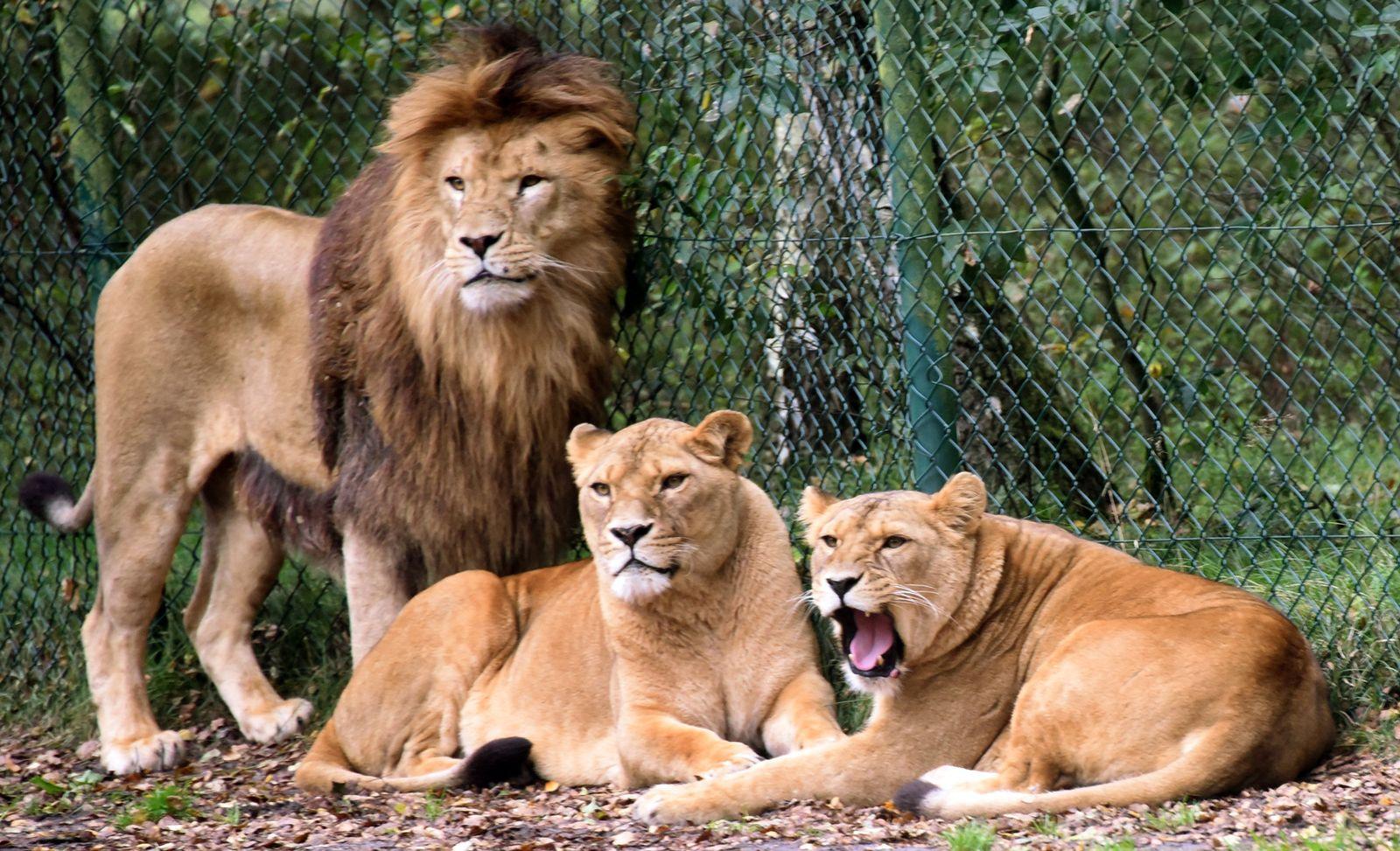 Löwenangriff/ Serengeti-Park Hodenhagen
