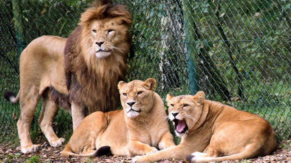 Eine Löwengruppe aufgenommen in einem Löwengehege im Serengeti-Park Hodenhagen (Symbolbild)