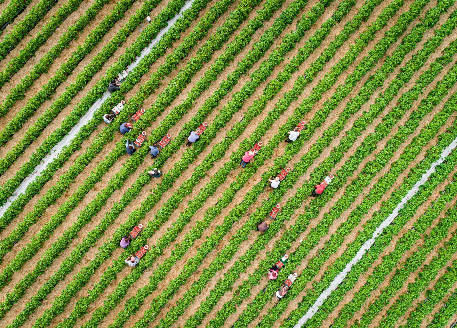 Erdbeersaison - Luftaufnahme von Erntehelfern bei der Erdbeerenernte. Enpässe bei der Ernte von Sonderkulturen. Polnisch