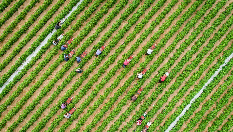 Erdbeerernte in Niedersachsen
