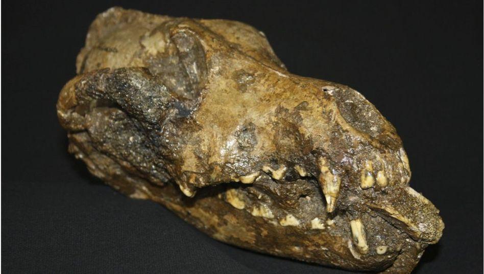 Schädel eines steinzeitlichen Hundes: Kürzere Schnauze als ein Wolf