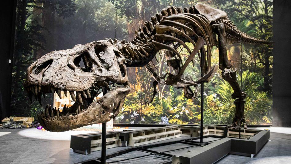 Skelett eines Tyrannosaurus Rex: Erwachsene Tiere wurden bis zu 13 Meter lang
