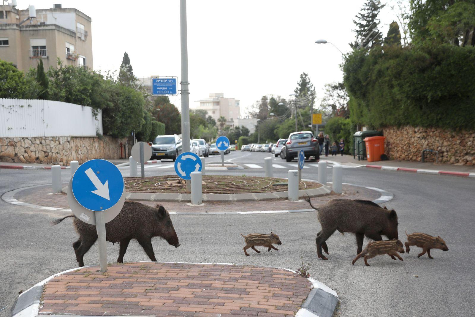 Coronavirus pandemic - wild animals roam free in Israel, Haifa - 11 Apr 2020