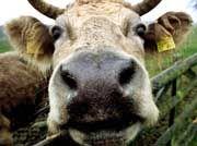 Bakterienträger Rind: Erst BSE, dann Morbus Crohn