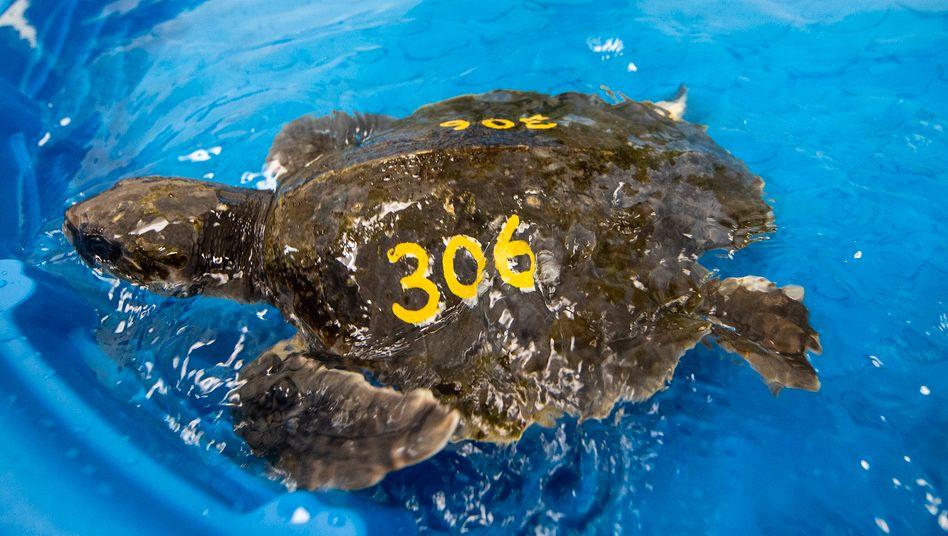 Gerettete Schildkröte auf der Insel Marathon in Florida: bis zu ein Jahr Aufenthalt