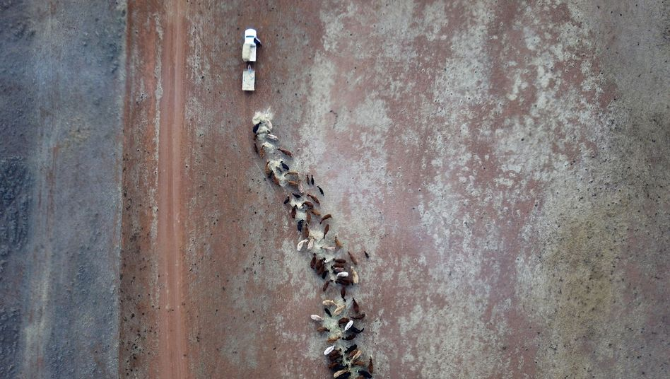 Kühe werden in Australien auf ausgetrockneten Flächen mit Heu versorgt(Bild vom August 2018)