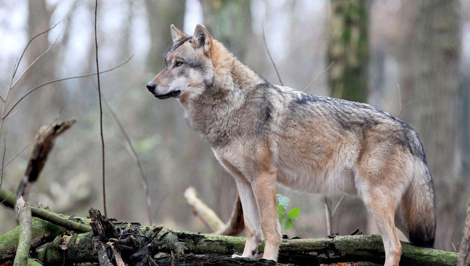 Wolf in Niedersachsen (Archivbild): Geht es ums Futter, lassen die Wildtiere auch rangniedrigen Artgenossen eine Chance