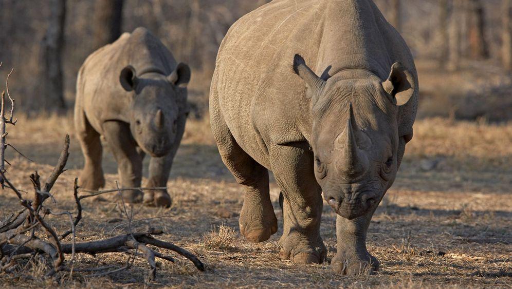Nashorn-Jagdlizenz: Proteste gegen Auktion in Dallas