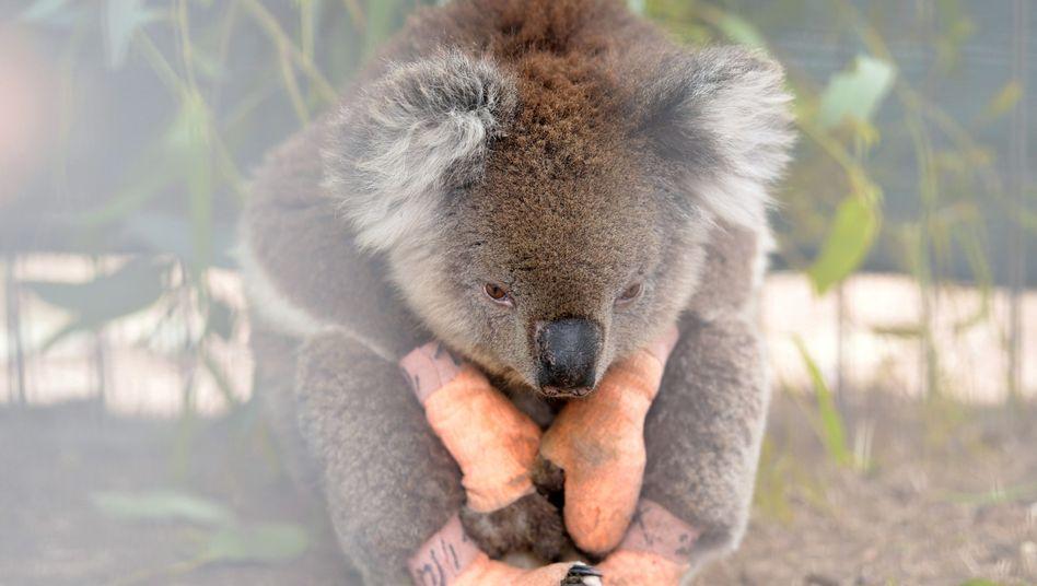 Ein verletzter Koala in einem Wildpark: Australiens Tiere leiden unter den Buschbränden