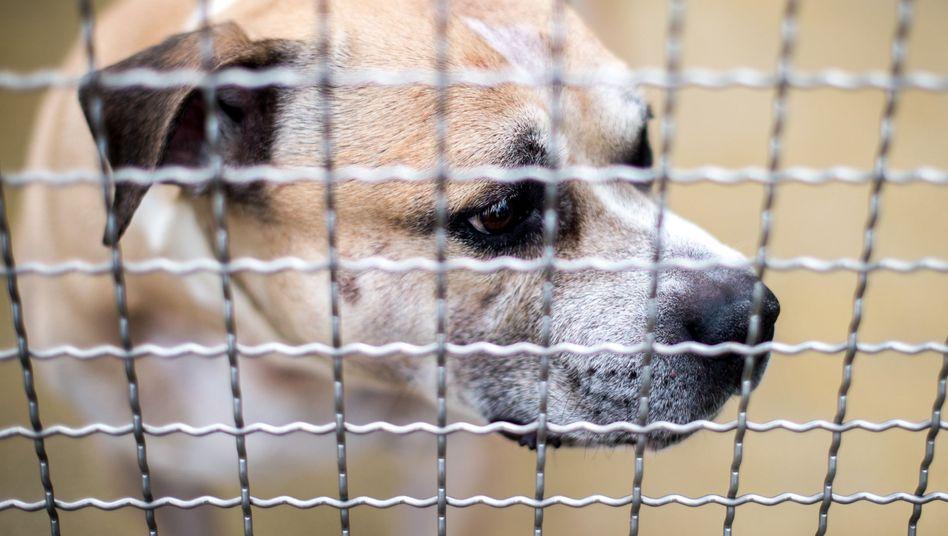 Staffordshire-Terrier-Mischling Chico (Archiv)