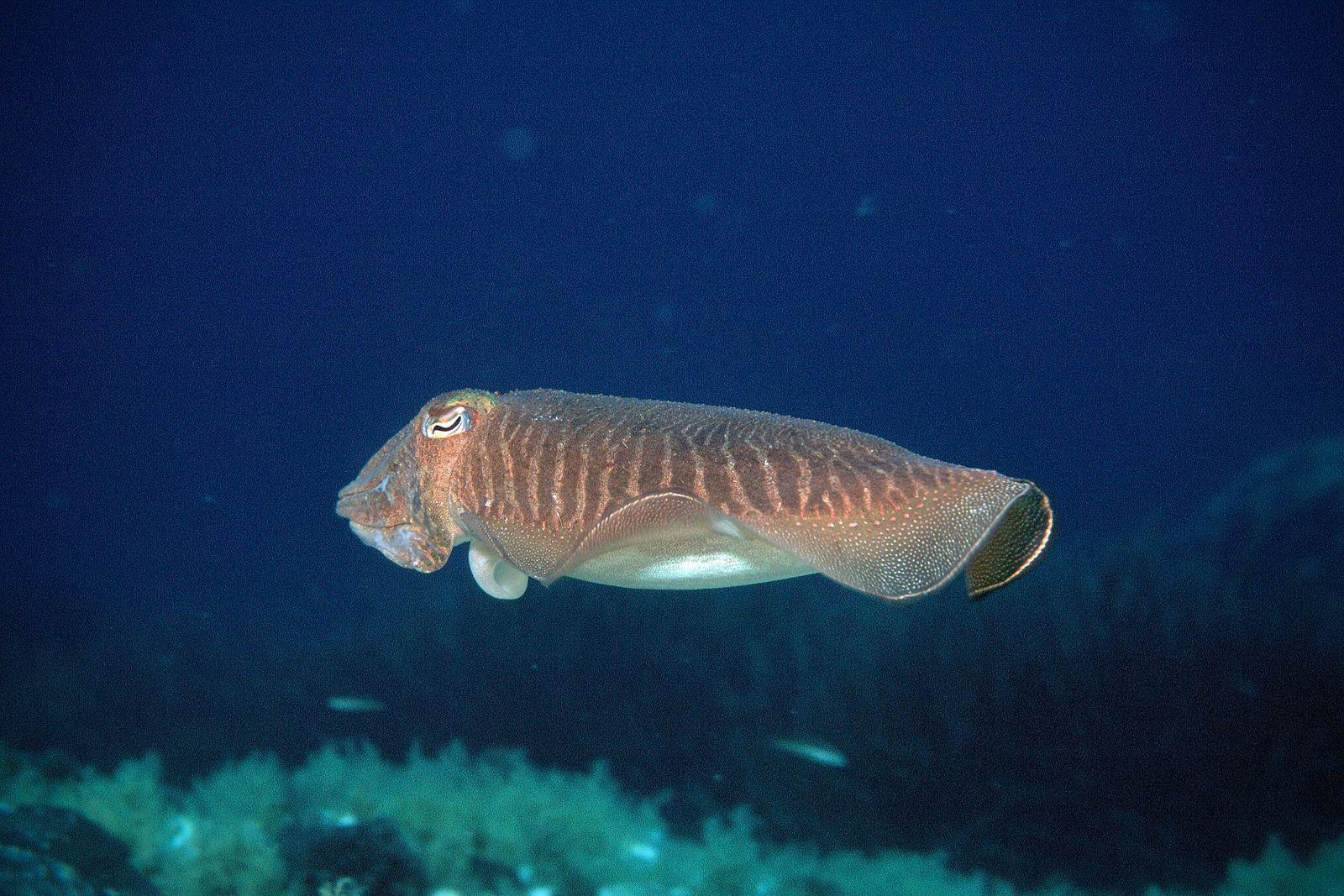 Gemeine Sepia, Sepia officinalis, common cuttlefish