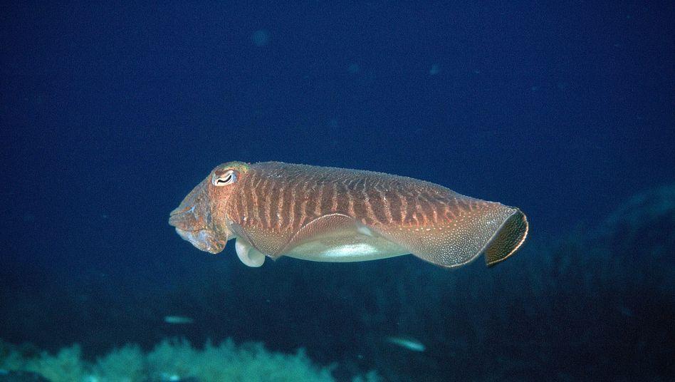 """Gewöhnlicher Tintenfisch (Sepia officinalis): """"Ein hochentwickeltes Gehirn"""""""