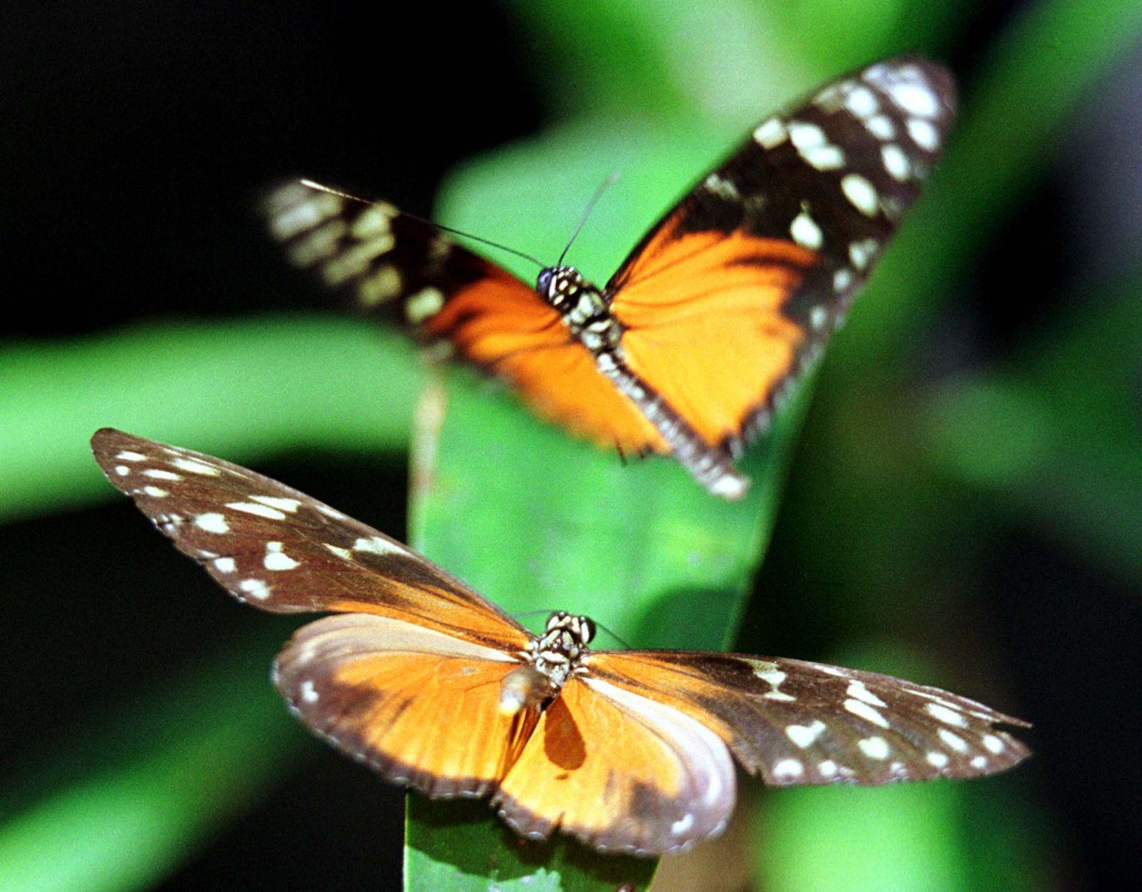 Heliconius / Schmetterling / Costa Rica