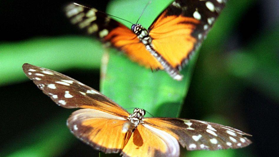 Heliconius-Schmetterlinge: Sicher im Fünferpack