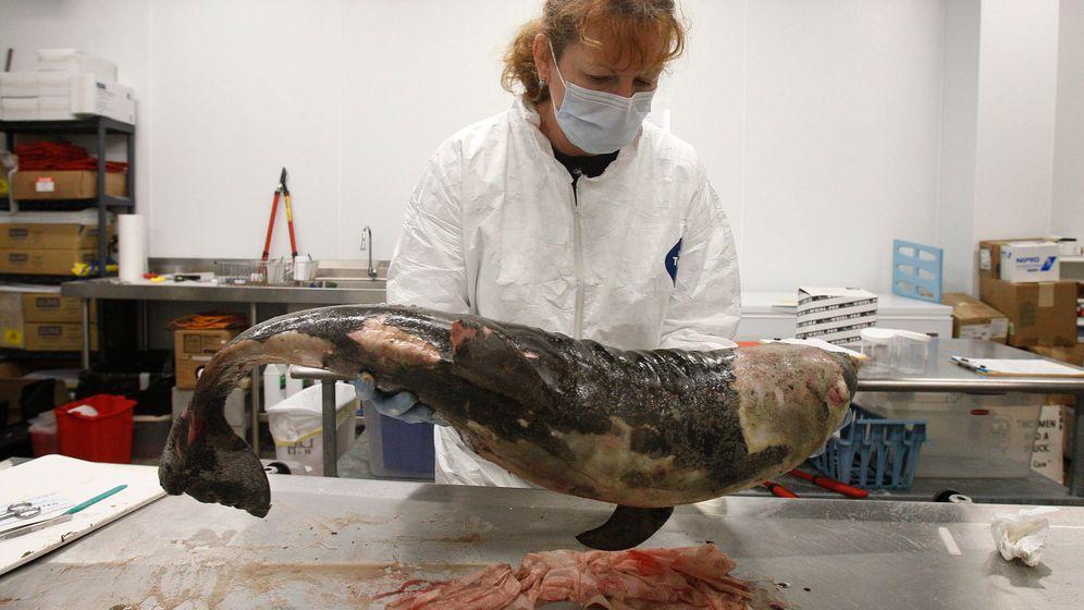 Golf von Mexiko: Forscher untersuchen tote Delfine